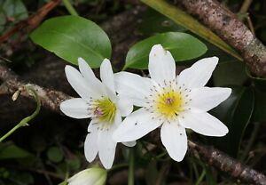 Clematis Paniculata - Sweet Autumn Clematis 20 Seeds
