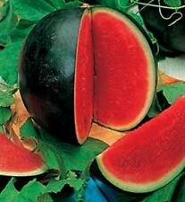 JUICY BRIGHT RED Sugar Baby Watermelon Seeds* SALE
