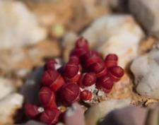 Oophytum nanum, rare succulent, living stone, 10 seeds