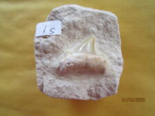 ~ 1 inch Otodus Sharks Tooth in Matrix from Morocco