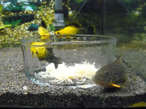 WHITE WORM CULTURE - BUDGET PACK - Nourishing live food for your fish!