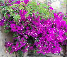 bright purple Bougainvillea 5 unrooted head cuttings from our garden in Spain