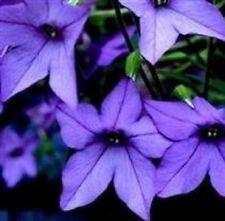 Nicotiana - Perfume Blue - 50 Seeds