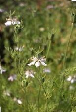 Herb - Black Cumin - Nigella Sativa - 10000 Seeds - Large