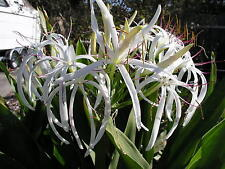 Crinum Lily, Asiaticum (species), small-size bulb -  NEW