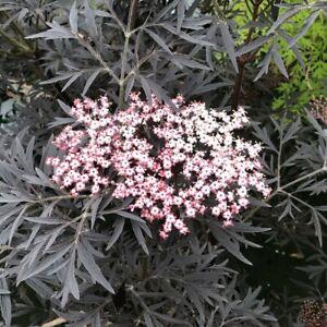 "Sambucus Nigra Black Lace Elderberry Hardy Live Plant Proven Winners 4"" Pot Yard"