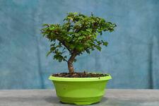Shohin Parrots Beak (Gmelina) Pre-Bonsai Tree! Fast Grower, Ivy Shape Foliage