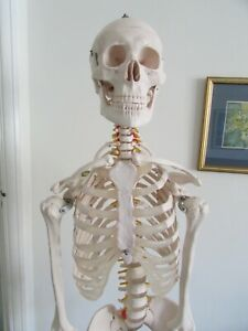 Human Skeleton Anatomical Medical Model, Life Size.will deliver local PATTERSON