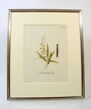 Stich altkoloriert Croton Cascarilla Linn. Heilpflanze Botanik Medizin um 1800