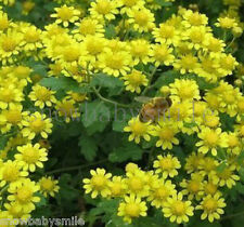 3000 Indian Chrysanthemum Seeds Wild Dendranthema Indicum Flower Herb Perennial