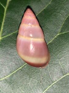 Amphidromus pervaria 32mm