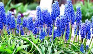 1-100 MUSCARI ARMENIACUM GRAPE HYACINTH BULBS/CORMS PERENNIAL  SPRING FLOWERING