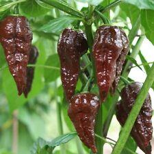 Bhut Jolokia choco-una de los más ácidos chilis del mundo en marrón! fantástico aroma!