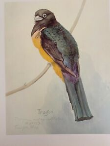 "Louis Agassiz Fuertes & The Singular Beauty of Birds, ""Citreoline Trogon"" Print"
