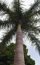 ROYSTONEA REGIA 10 semi seeds Palma reale Cubana Palma a bottiglia Royal palm