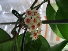 Hoya Wachsblume pauciflora Jungpflanzen Sonderangebot