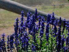 SALVIA 'Blue Bedder' 30 seeds PERENNIAL