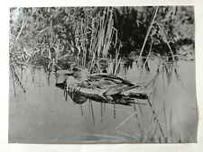 Broadbill Duck. Enlargement from photograph by W. E. Carlin. print 1902