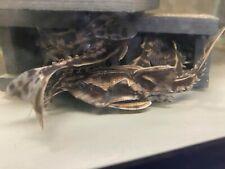 New listing Megalodoras uranoscopus aka The Irwini Catfish