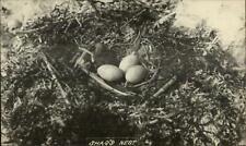 Bird's Nest Babies Eggs Shag Cormorant Thomaston Maine Photographer RPPC
