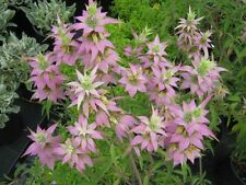 300+SPOTTED BEE BALM Native Wildflower Seeds Garden Herbal Tea Monarda punctata