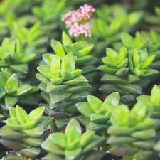 25 Seeds Crassula Springtime Succulent Cactus Plant Garden Cacti