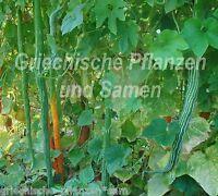 🔥 🥒 Schlangen-Gurke 1,2m 3 Samen lang tolles Gemüse Trichosanthes wie Zucchini