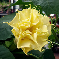 PERENNIAL    DATURA YELLOW DOUBLE    *  Golden  Queen*     5 SEEDS