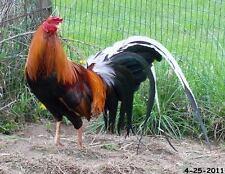 7+ Chicken Gamefowl Hatching Eggs Pinnon Yellow Leg Hatch - Pinnon Hatch Farms