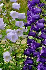 CANTERBURY BELLS MIX - CAMPANULA MEDIUM - 1400 seeds - Flower