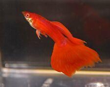 New listing 10 Fry Rrea Red Albino Guppy Fancy Guppies