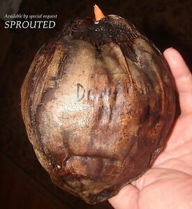 ~RED TAHITI RANGIROA~ Dwarf COCONUT Cocos nucifera JUST SPROUTED