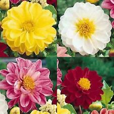 DAHLIA VARIABILIS 100 SEEDS UNWINS BEDDING MIX Compact Container Garden USA Pots
