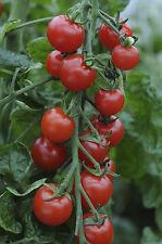 Vegetable - Tomato - Supersweet 100 F1 - 10 Seeds