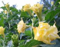🔥 Datura golden Queen 15 Samen * Engelstrompete * doppelt gefüllt Balkon Kübel