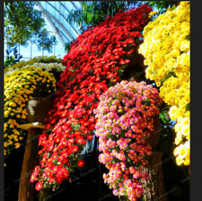 Chrysanthemum 100 Pcs Seeds Flowers Bonsai Ornamental Cliff Plants Garden NEW H