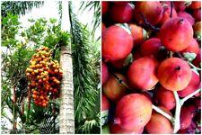 40 seeds Wodyetia Bifurca Foxtail Palm Fresh Ready Plant Easy Grow Beauty Garden