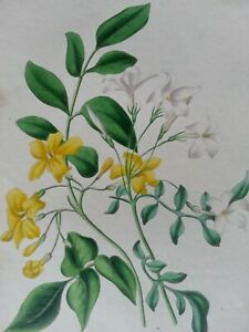ANTIQUE PRINT DATED 1936 WHITE AND LARGE YELLOW JASMINE FLOWERS BOTANY ENGRAVING
