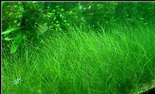 Dwarf Hair Grass Eleocharis Parvulus LIVE AQUARIUM  TROPICAL FISH TANK bunched