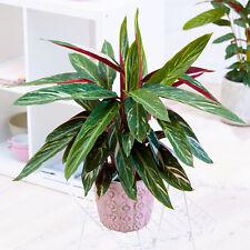 Vibrant Calathea Magicstar | Best Indoor Plants for Sale (30-40cm Incl Pot)