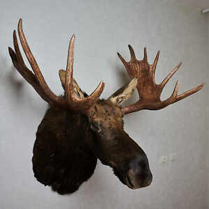 MOOSE TAXIDERMY HEAD SHOULDER MOUNT CAPE - MOUNTED, STUFFED ANIMALS - ST6885