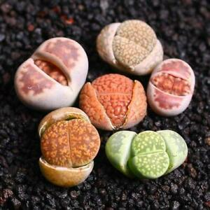 RARE Lithops succulent cactus EXOTIC living stones seed 50 SEEDS ( No Tracking#)