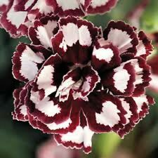 30+ Fragrant Carnation Red and White Raspberry Ripple Perennial Flower Seeds