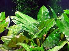 Cryptocoryne pontederiifolia pied ADULTE  plante cichlides discus facile robuste