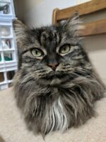 "Have a Heart Auction: Be A ""One-Time"" Loving Sponsor - ANGIE THE CAT"