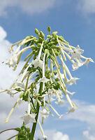 ** Zierstaude: der tolle Duft-Tabak - für jeden Garten Duft Samen