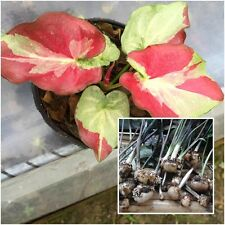 Caladium 1 Bulb Queen of the Leafy Plants ''Apsonsawan'' Colourful Tropical