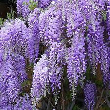 Wisteria sinensis Prolific in 1L pot - grafted plant