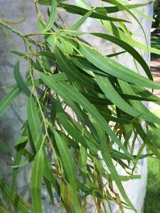 Lemon Eucalyptus Seeds - Corymbia citriodora - Fragrant Medicinal Tree Seeds
