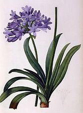 Agapanthus Umbrellatus~counted cross stitch pattern #894~Flower Garden Chart